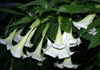 Angels trumpet at night